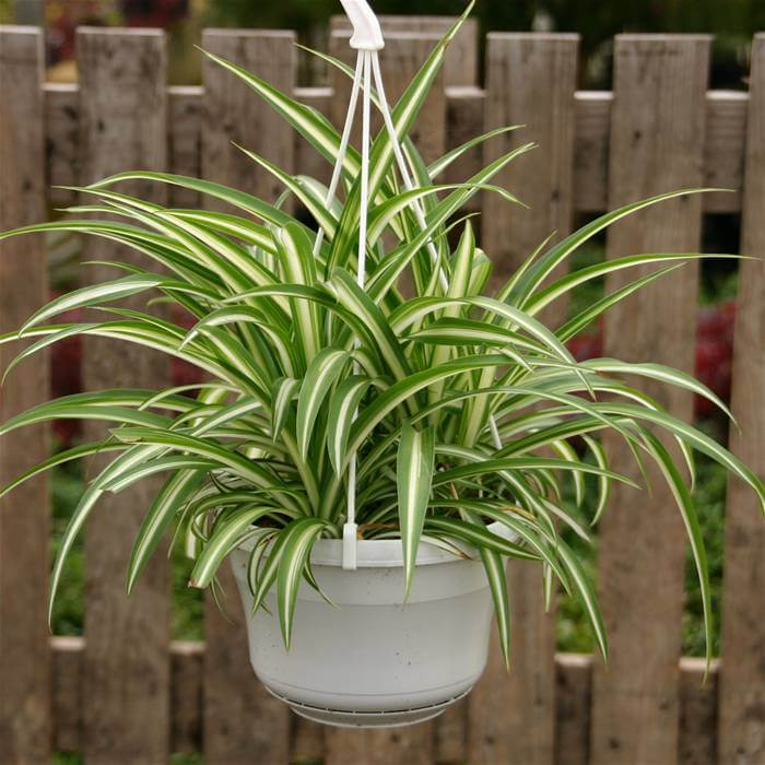 Spider Plant Air Cleaning