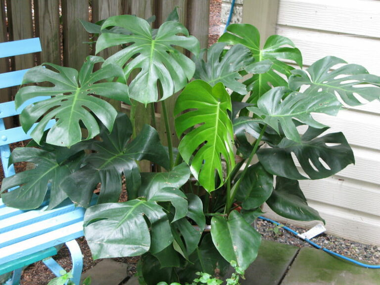 Split Leaf Philodendron - Indoor House Plant