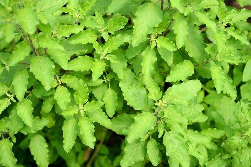 Tulsi (Holy basil) plant