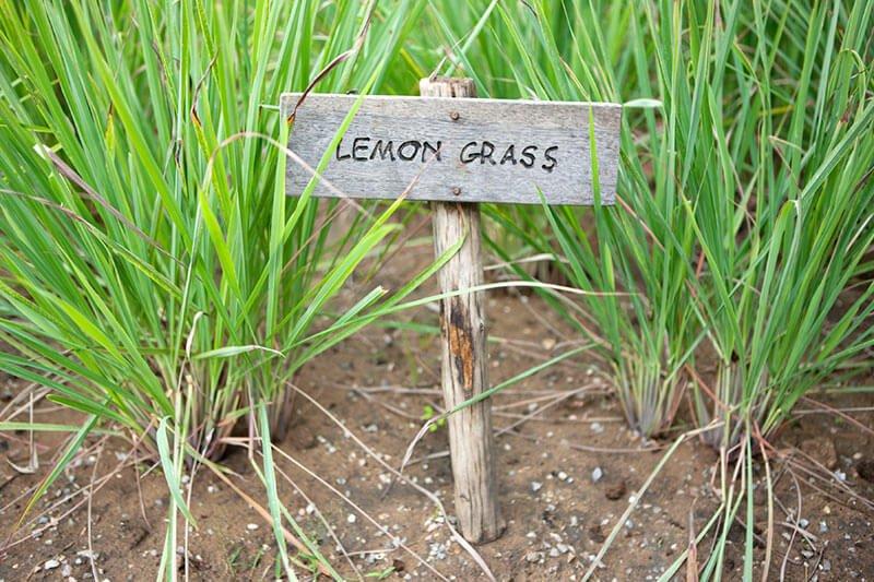 lemongrass (Cymbopogon)- Indoor herb garden