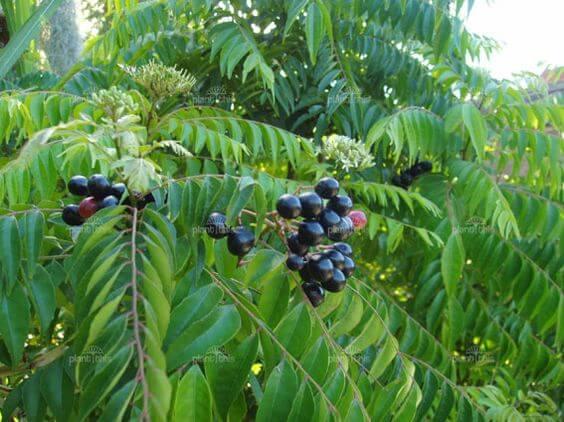 Curry leaves (Murraya koenigii)