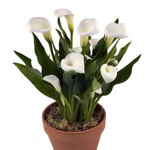 Calla Lily Zantedeschia Aethiopica Indoor House Plants