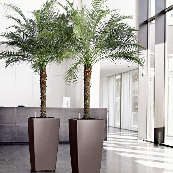 Pygmy date palm - Indoor House Plants