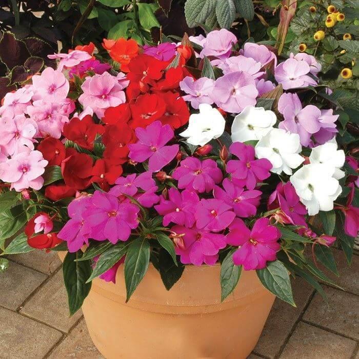 Busy Lizzie - Flowering plants