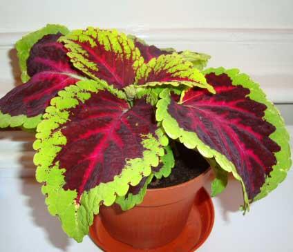 Coleus Plant - Indoor House Plants