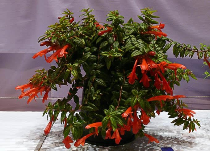 Columnea crassifolia - Flowering plants