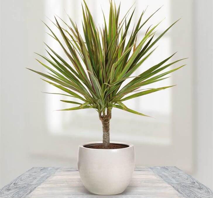 Dragon Tree - Indoor House Plants