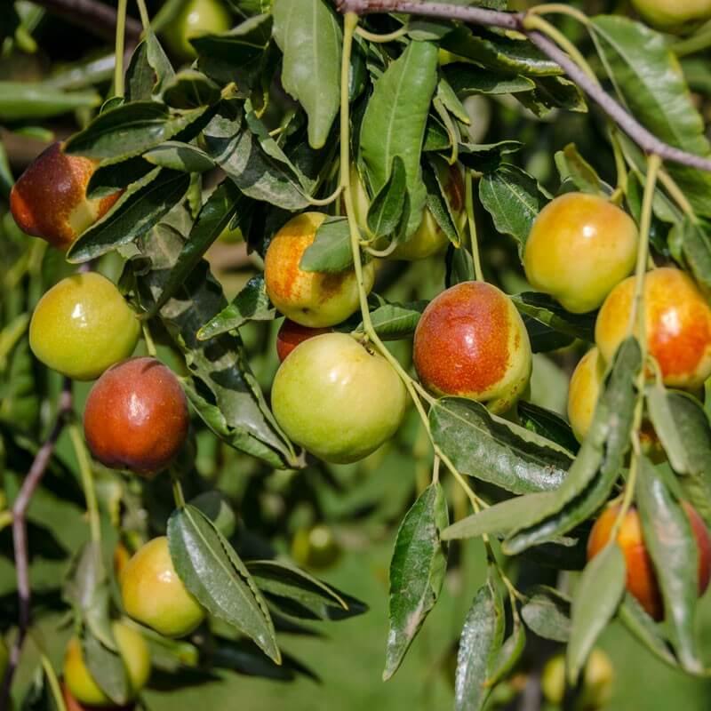 Jujube - Fruit garden