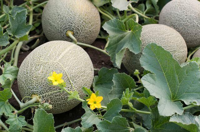 Cantaloupe - Fruit garden