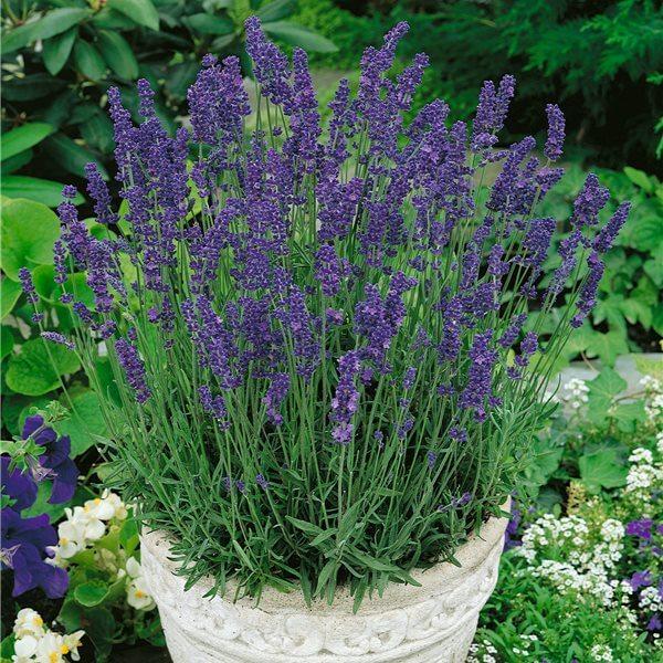Lavandula angustifolia - Herb garden