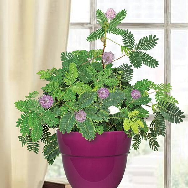 Mimosa-Pudica-Indoor-House-Plants Mimosa Pudica House Plant on benefits of mimosa pudica plant, dracaena sanderiana house plant, weed house plant, papaya house plant, ginkgo biloba house plant, monstera deliciosa house plant, rose house plant, ficus elastica house plant, hedera helix house plant, tradescantia zebrina house plant, mimosa plant moving, coffea arabica house plant, bacopa house plant, asparagus house plant, ficus microcarpa house plant, sida cordifolia house plant, tamarind house plant,