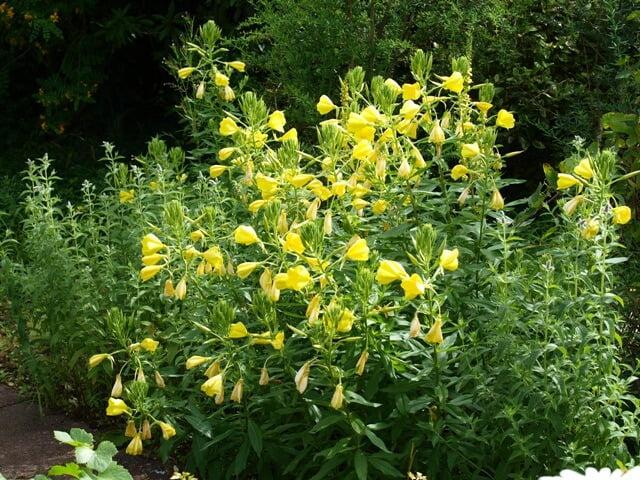 Evening primrose - Herb garden