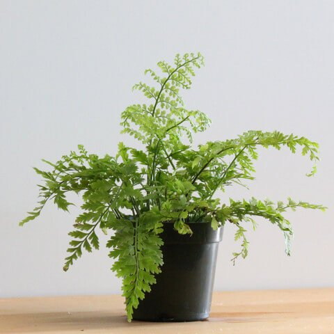 Asplenium bulbiferum - Fern plants