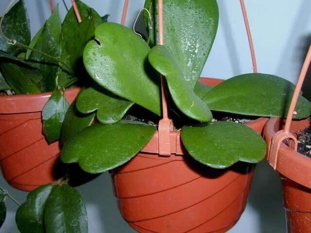 Wax Plant - House Plants
