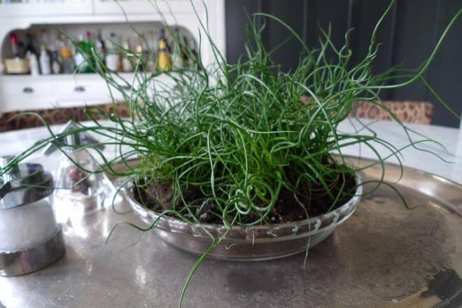 Corkscrew rush - Indoor House Plants