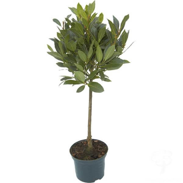 Laurus nobilis (Bay laurel) - Indoor House Plants