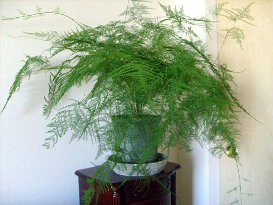 Asparagus setaceus - Indoor House Plants