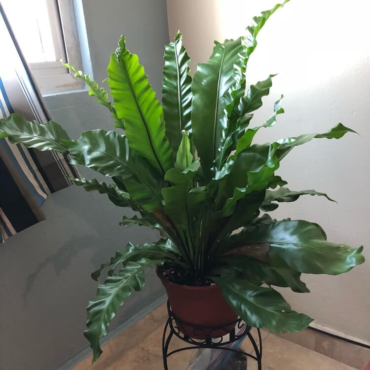 Asplenium antiquum (Birds nest fern) - Indoor House Plants