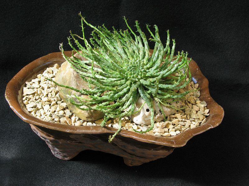 Euphorbia flanganii - Indoor House Plants