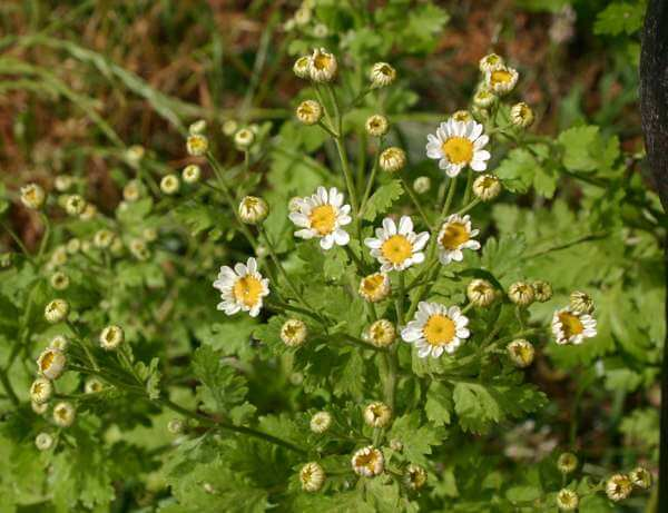 Feverfew (Tanacetum parthenium) - Herb garden