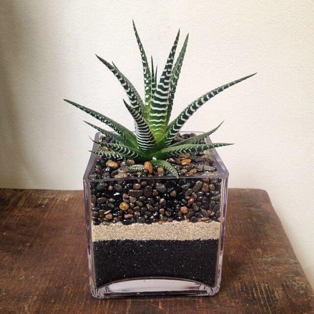 Haworthia attenuata - Indoor House Plants
