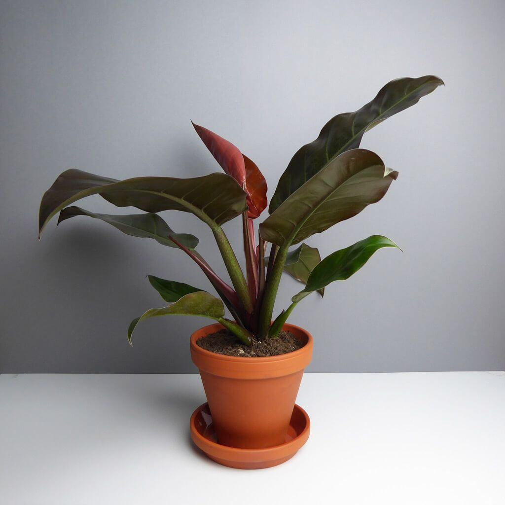 Philodendron Imperial Red - Indoor House Plants