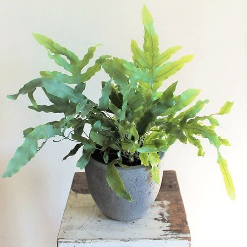 Phlebodium aureum Indoor House Plants