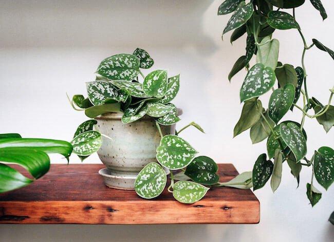 Scindapsus pictus - Indoor House Plants