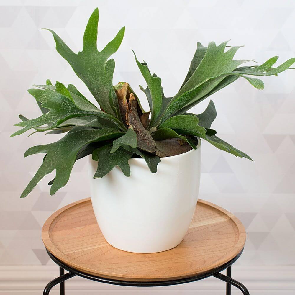 Staghorn Fern (Platycerium bifurcatum) - Fern plants