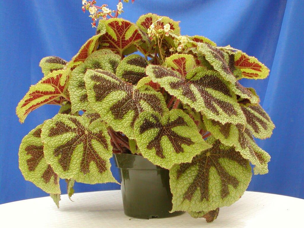 Begonia masoniana (Iron cross begonia) - Indoor House Plants