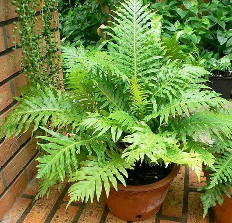 Blechnum gibbum (Silver Lady) - Fern plants