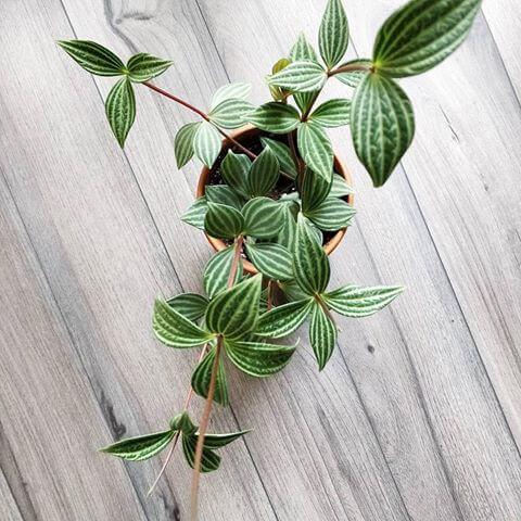 Peperomia puteolata (Parallel Peperomia) - House Plants