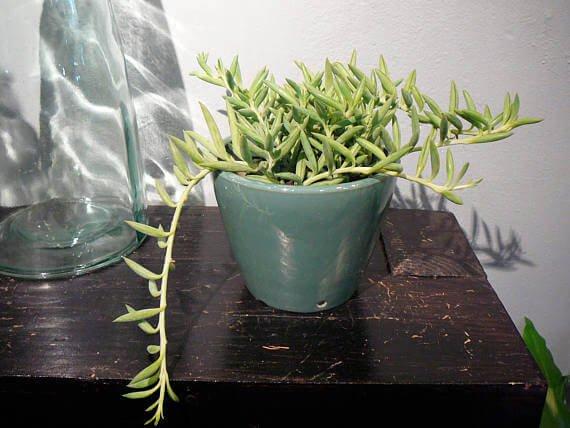 Senecio radicans (String of Bananas) - Succulent plants