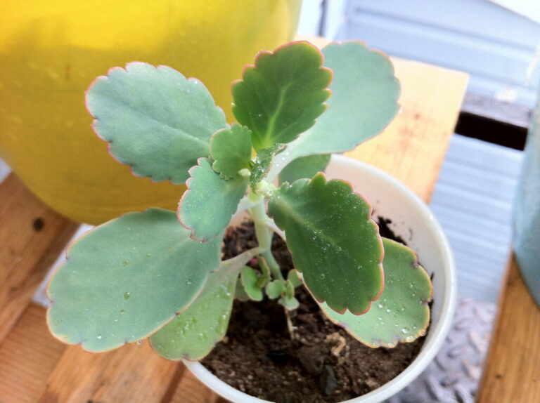 Bryophyllum pinnatum - House Plants