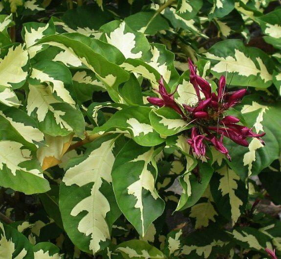 Caricature plant (Graptophyllum pictum) - House Plants