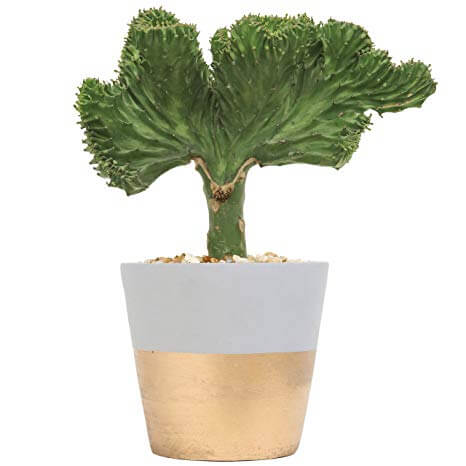 Coral cactus (Euphorbia Lactea Crest) - Cactus garden
