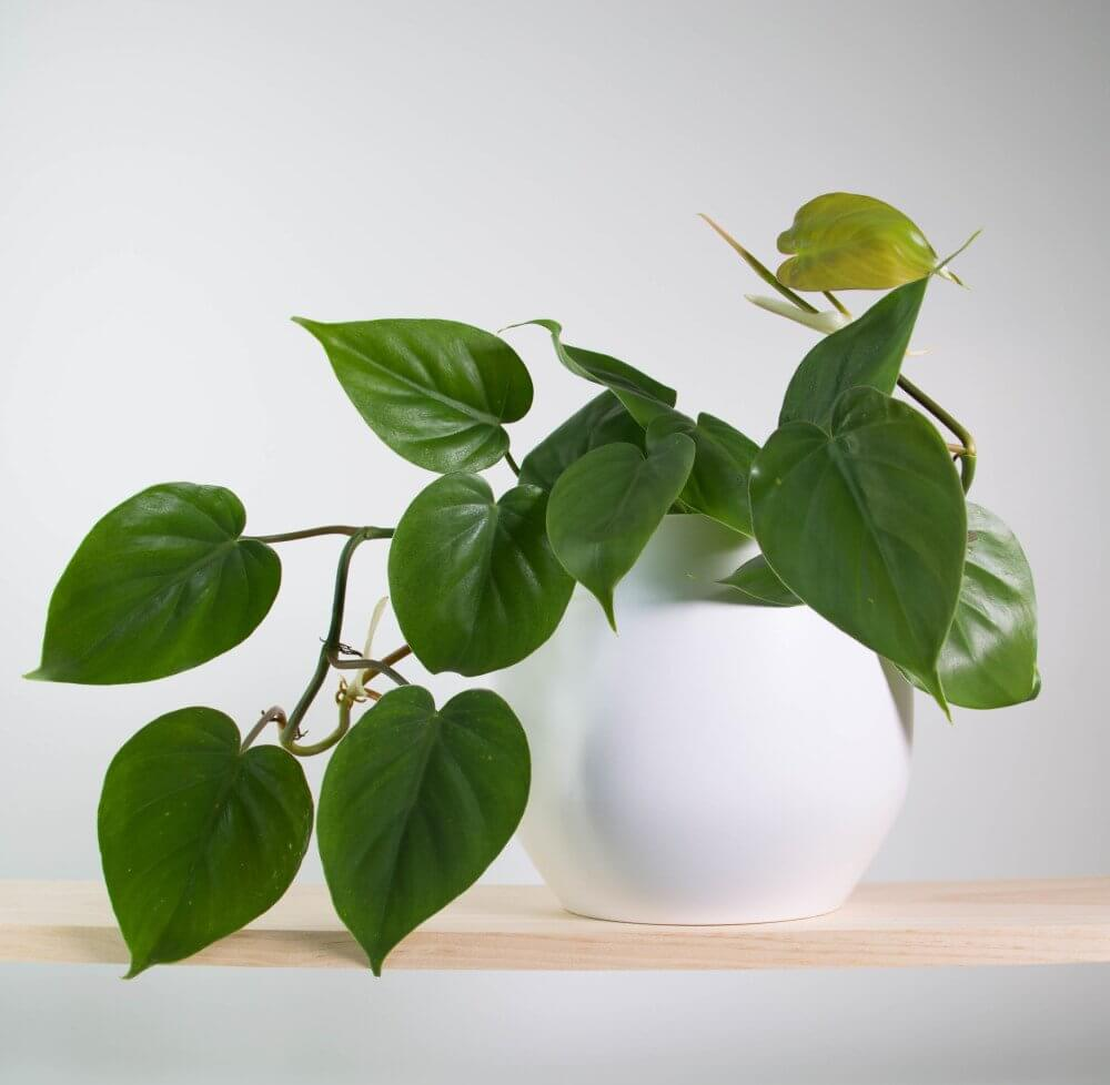 Different Types Of Pothos Plants