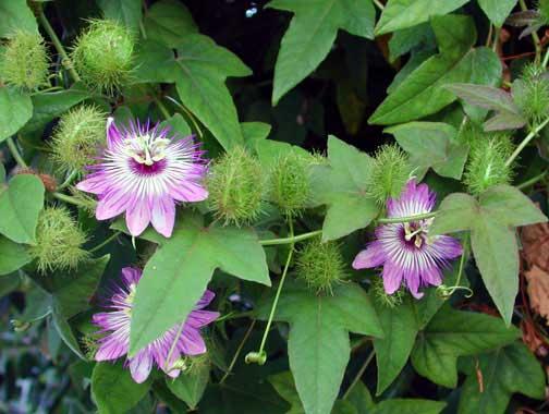 Passiflora foetida - Fruit garden