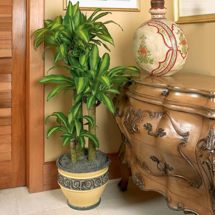 Corn Plant (Dracaena fragrans Massangeana) - Indoor House Plant