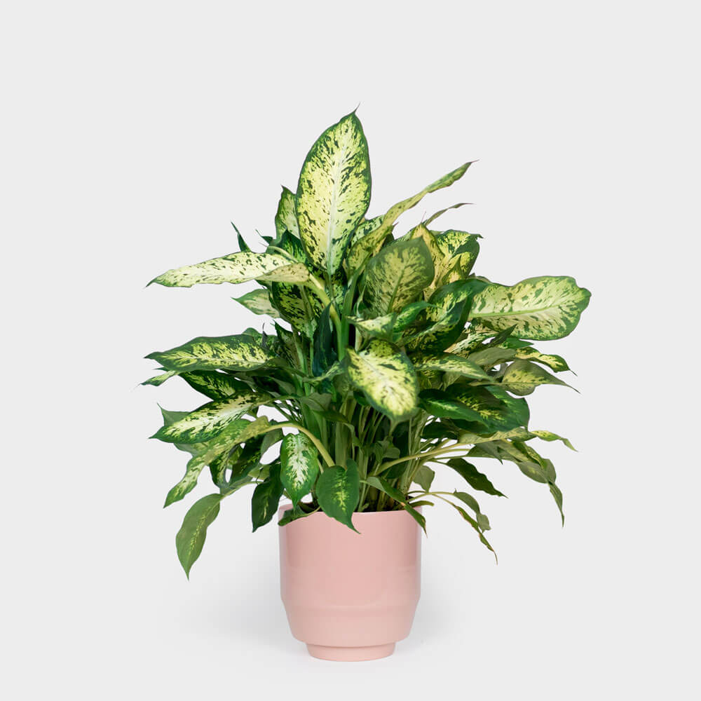 ffenbachia Compacta (Dumb Cane) - Indoor House Plants on names of house buildings, names of dracaena plants, names of plants inside, names of dry plants, names of office plants, indoor plants, names of herbaceous perennials, names of different houseplants, scientific names of plants, names of gifts, names of unusual plants, names of flowers, names of landscape plants, names of elephant ear plants, names of hibiscus, names of seashore plants, names of climbers, names of fuchsias, names of house design, names of angel plants,