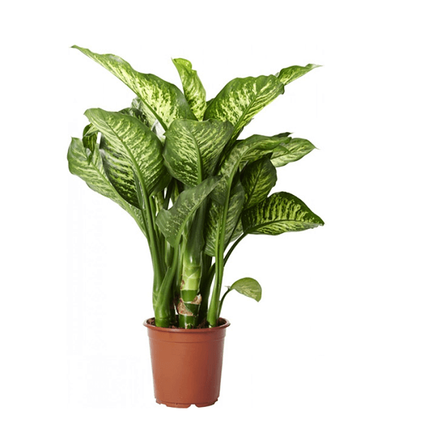ffenbachia Maroba (Dumb Cane) - Indoor House Plants on names of house buildings, names of dracaena plants, names of plants inside, names of dry plants, names of office plants, indoor plants, names of herbaceous perennials, names of different houseplants, scientific names of plants, names of gifts, names of unusual plants, names of flowers, names of landscape plants, names of elephant ear plants, names of hibiscus, names of seashore plants, names of climbers, names of fuchsias, names of house design, names of angel plants,