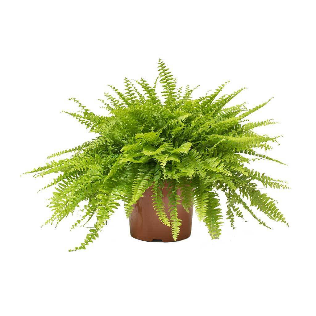 Boston Fern (Nephrolepis exaltata Bostoniensis) - Indoor House Plants