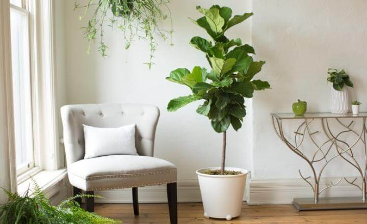 Ficus lyrata Bambino (Dwarf Fiddle Leaf Fig) - Indoor House Plants