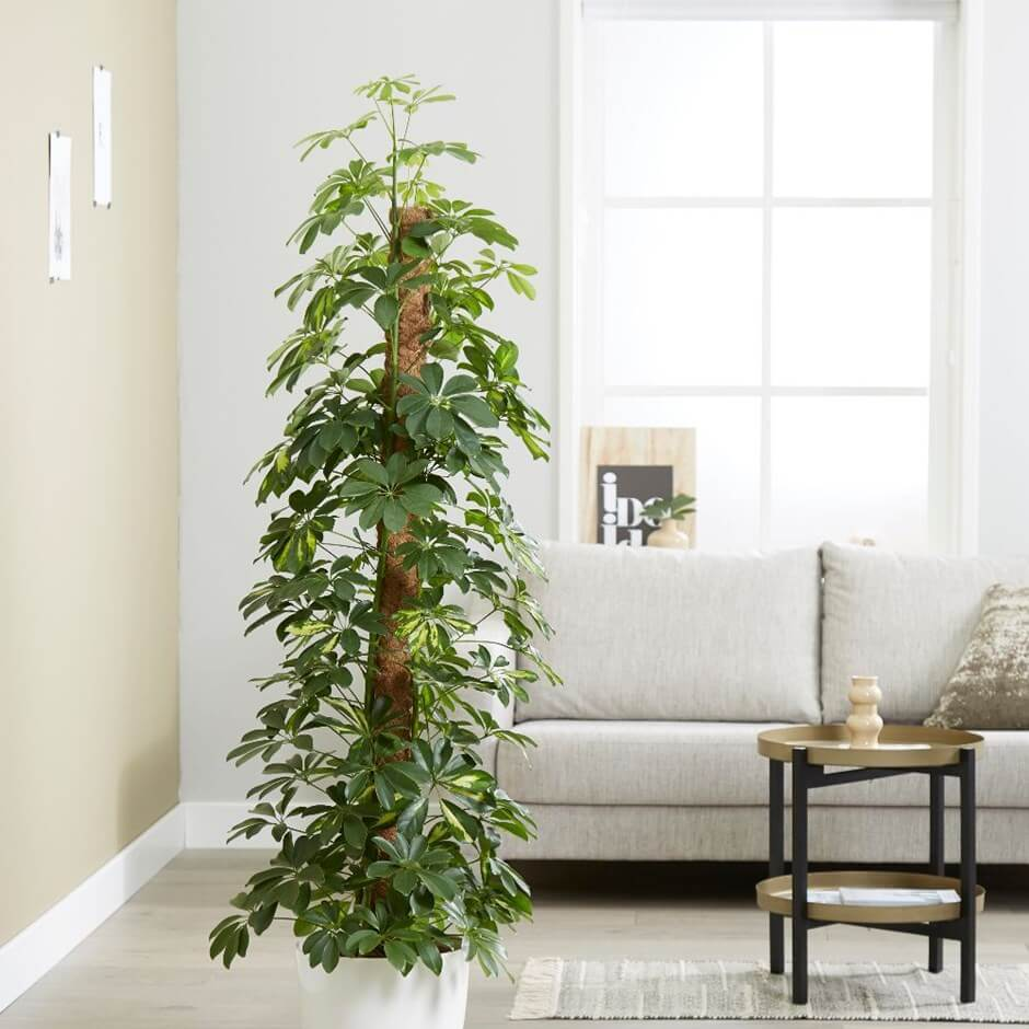 Dwarf umbrella tree | Schefflera arboricola Gold Capella - Indoor Plants