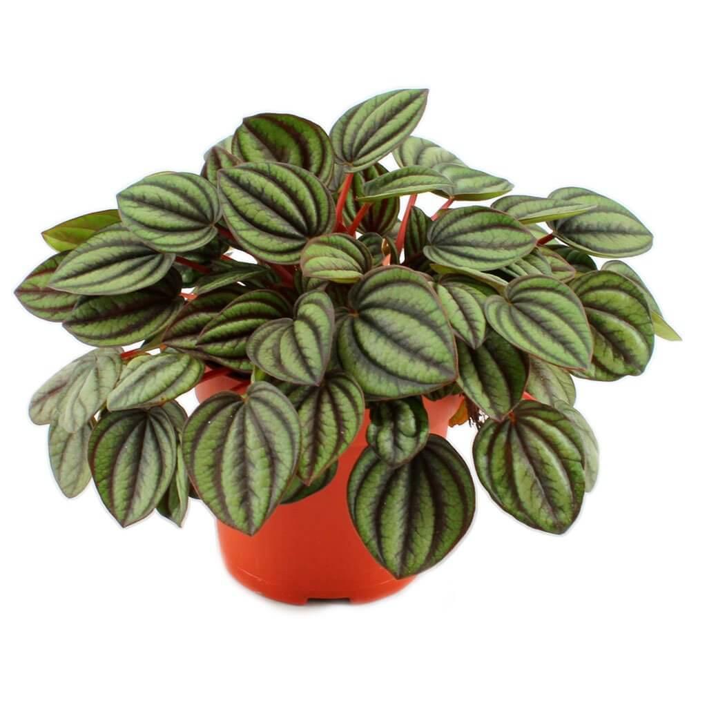 Peperomia Piccolo Banda - Indoor House Plants