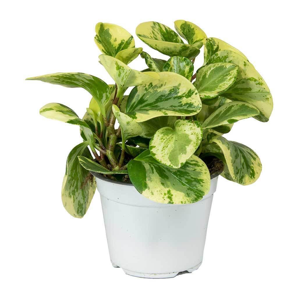 Peperomia obtusifolia Variegata - Indoor House Plant