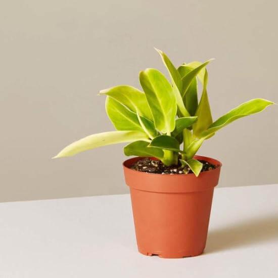 Philodendron Moonlight - Indoor Plants