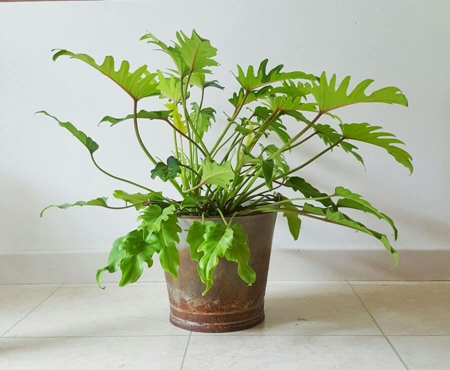 Philodendron Xanadu - Indoor House Plants