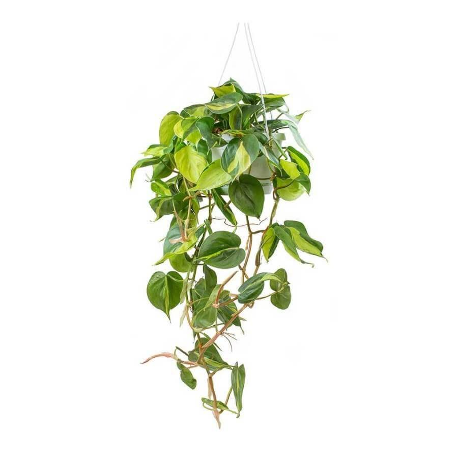 Philodendron scandens Brasil - Indoor House Plant