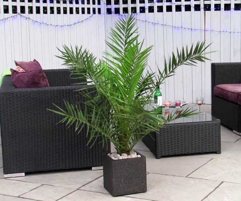 Phoenix canariensis - Indoor House Plants